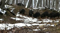Wild Pigs in Forest_4 Stock Footage