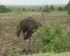 Ostrich female (Struthio camelus) foraging in Kruger national park 02 - stock footage