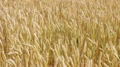 Sunny Wheat Field in Wind HD Stock Footage