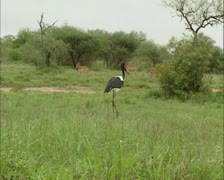 Saddle-billed Stork in Kruger National park, antelopes in background Stock Footage