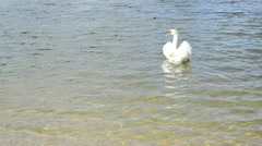 Beautiful white swan bird swim ripple lake shore water Stock Footage