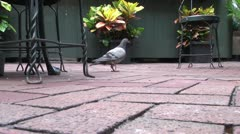 Sparrows and Pigeons flocking together, eating Stock Footage