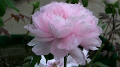 Beautiful pink peony blossom Stock Footage