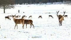 deer genral view - stock footage
