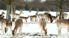 Deer herd close up Stock Footage