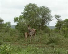 Burchell's Zebra mare with foal in Kruger National park, South Africa Stock Footage
