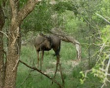 Blue wildebeest ( connochaetes taurinus ) foraging Stock Footage