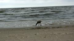 Gull bird baby walk coastal sea sand and waves Stock Footage