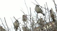 Flock of sparrows sitting on bare bush. - stock footage