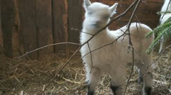Goat kid eating on a fir tree branch Stock Footage