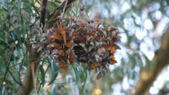 Stock Video Footage of Cluster of Monarch Butterflies