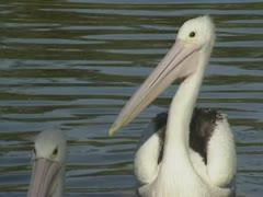 Pair of Australian pelican, pelecanus conspicillatus, swims 08 Stock Footage