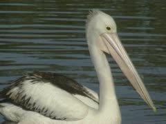 Australian pelican, pelecanus conspicillatus, floating 09 Stock Footage