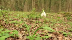 Snowdrop in the mountains (Galanthus) Stock Footage