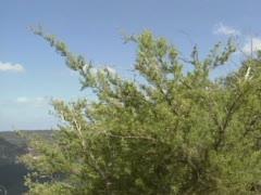 Blue Mountains from mountian ridge -pan pine tree Stock Footage