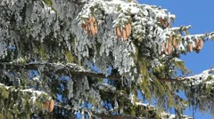 Many cones hanging from a snowed fir tree branch in the winter wind Stock Footage