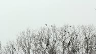 Black birds flying and resting on a empty tree in winter Stock Footage