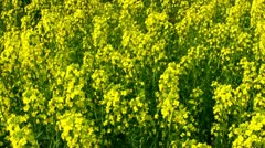 Field of canola Stock Footage