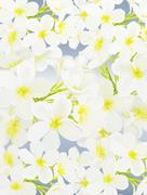 White Beauty Plumeria frangipanis on Blue Background Stock Illustration