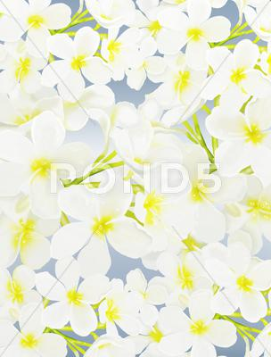 Stock Illustration of White Beauty Plumeria frangipanis on Blue Background