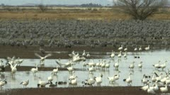 Snow Geese Takeoff Fly From Wetlands Stock Footage