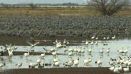 Stock Video Footage of Snow Geese Takeoff Fly From Wetlands