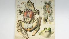 Scientific Illustration of a frog Stock Footage