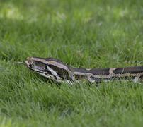 python in the grass - stock photo