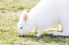 albino wallaby feeding - stock photo