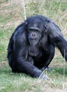 chimpanzee alert - stock photo