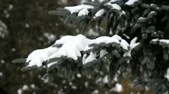 Fir snowy branch in forest in winter, blurred background Stock Footage