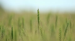 Closeup of wheat ears on wind - Shallow focus Stock Footage
