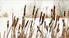 Bulrush on a white bokeh background in winter Stock Footage