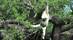 Lar Gibbon swinging Stock Footage