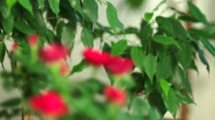 Small Red Roses, rack focus Stock Footage