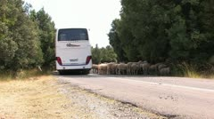 Sheep on rural street Stock Footage