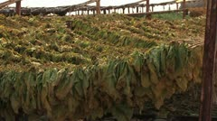 Tobacco planting and processing Stock Footage
