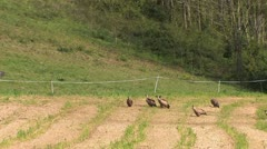 Vultures in the Pyrenees Stock Footage