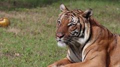 Bengal tiger. Stock Footage