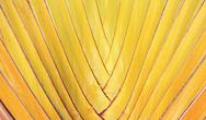 Stock Photo of banana leaves cascaded like a blow background texture