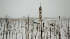 Cattails and prairie wetland grass in snowstorm - stock footage