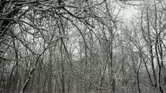 Loop: Snow clumps falling from trees in oak forest Stock Footage