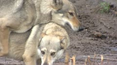 Czechoslovakian Wolfdog mating Stock Footage