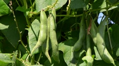 Closeup of green bean pods leaves move in wind Stock Footage