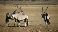 Gemsbok antelopes Stock Footage