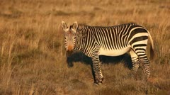 Cape Mountain Zebra Stock Footage