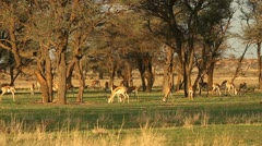 Grazing springbok Stock Footage