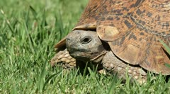 Close-up view of a leopard tortoise on green grass, South Africa Stock Footage