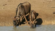 Stock Video Footage of Wildebeest drinking