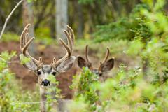 two mule deer bucks with velvet antlers - stock photo
